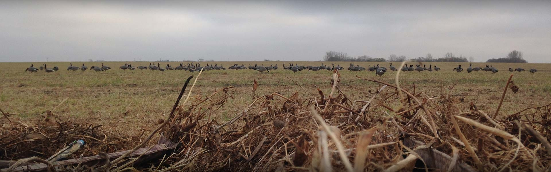 Hunting Geese in Alberta - Fully Guided